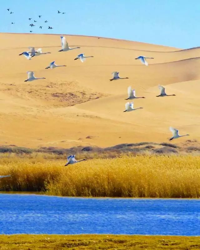 【每年10月20日至11月15日沙漠看天鹅】两日游
